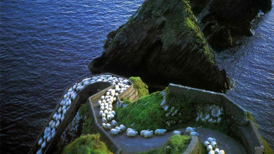 kerry sheep