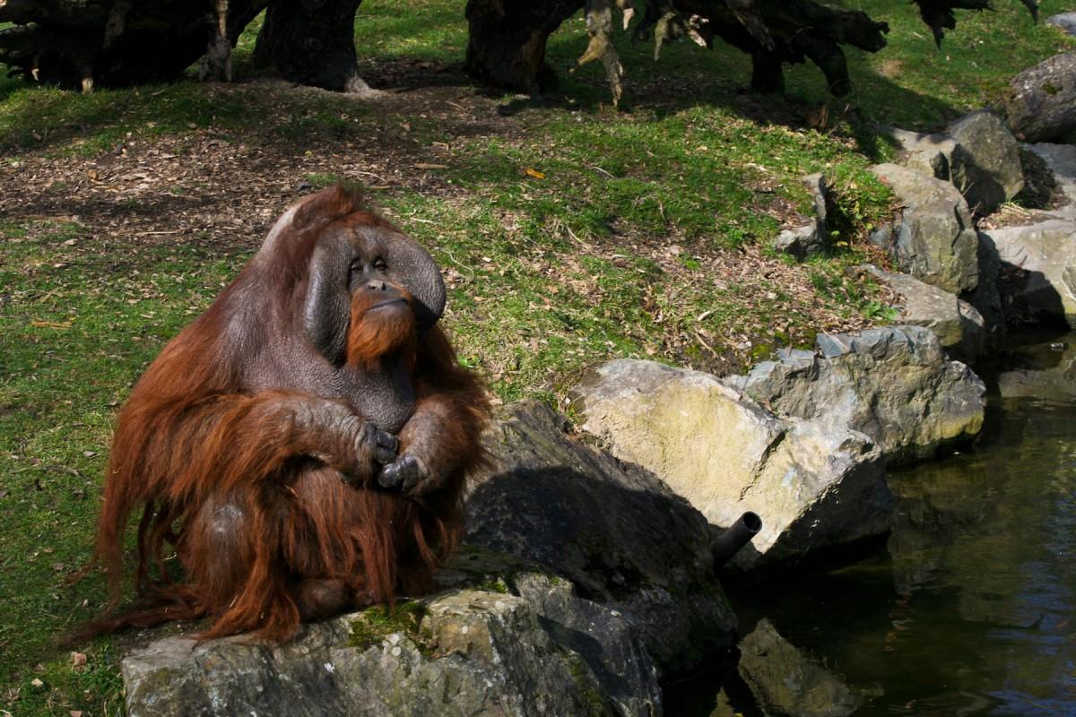 Dublin_zoo_Orangutang_2011