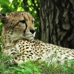 cheetah-425468_1280