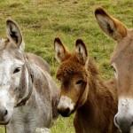 donkeys-218069_1280