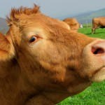 farm-animal